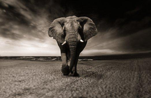 Elephant, Black And White, Animal