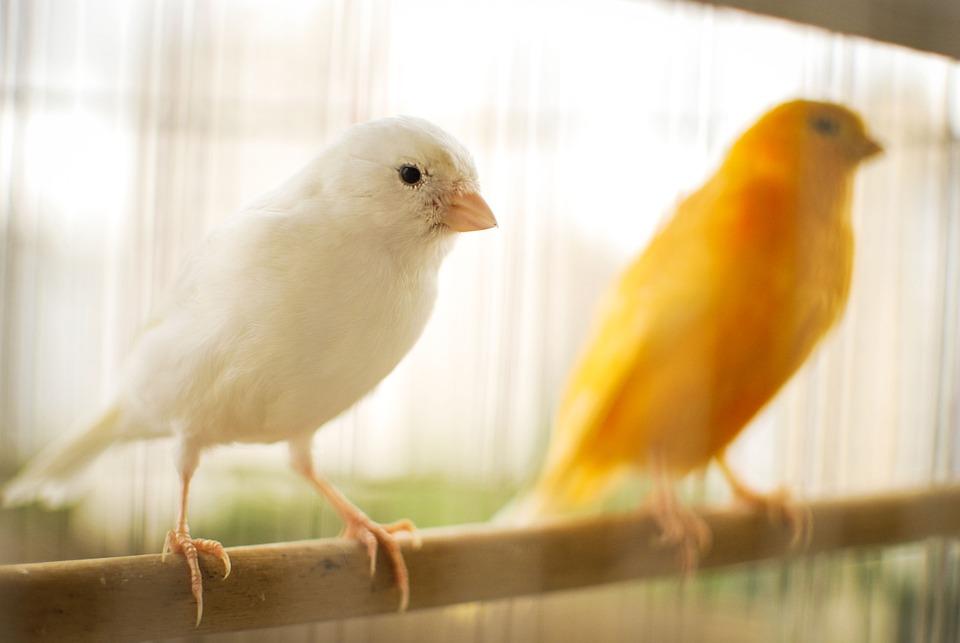 Vogel, Canarische, Kanarie Geel, Natuur, Vogeltje
