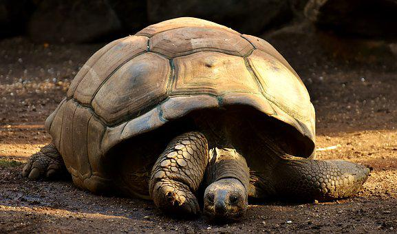 Giant Tortoises, Animals, Panzer, Zoo
