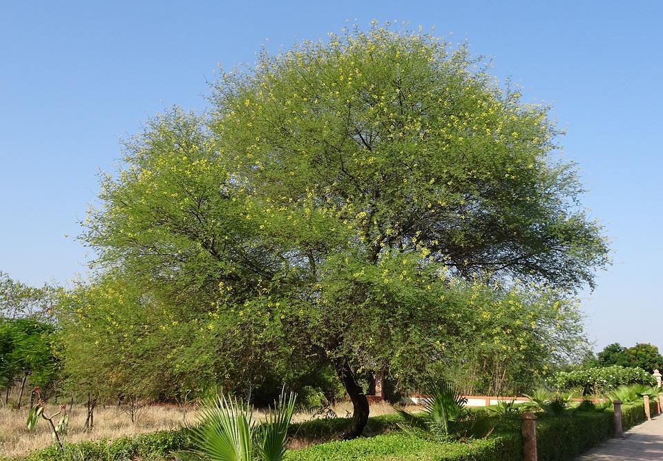 Babul árbol Acacia Nilotica Foto Gratis En Pixabay