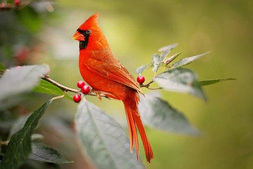 枢機卿, 鳥, 赤, ヒイラギの果実, 自然, 野生動物, 鳥類学