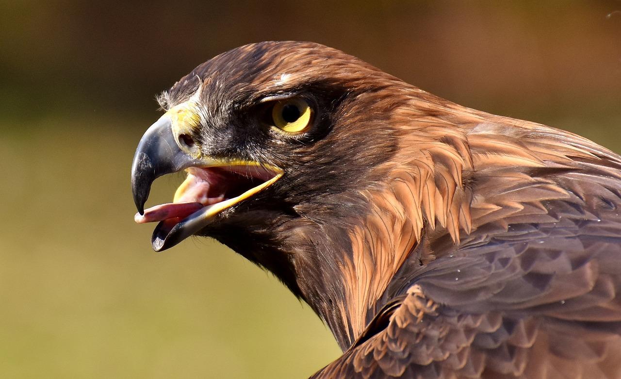 Каталог фотографии хищных птиц с названиями