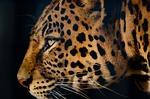leopard, eye