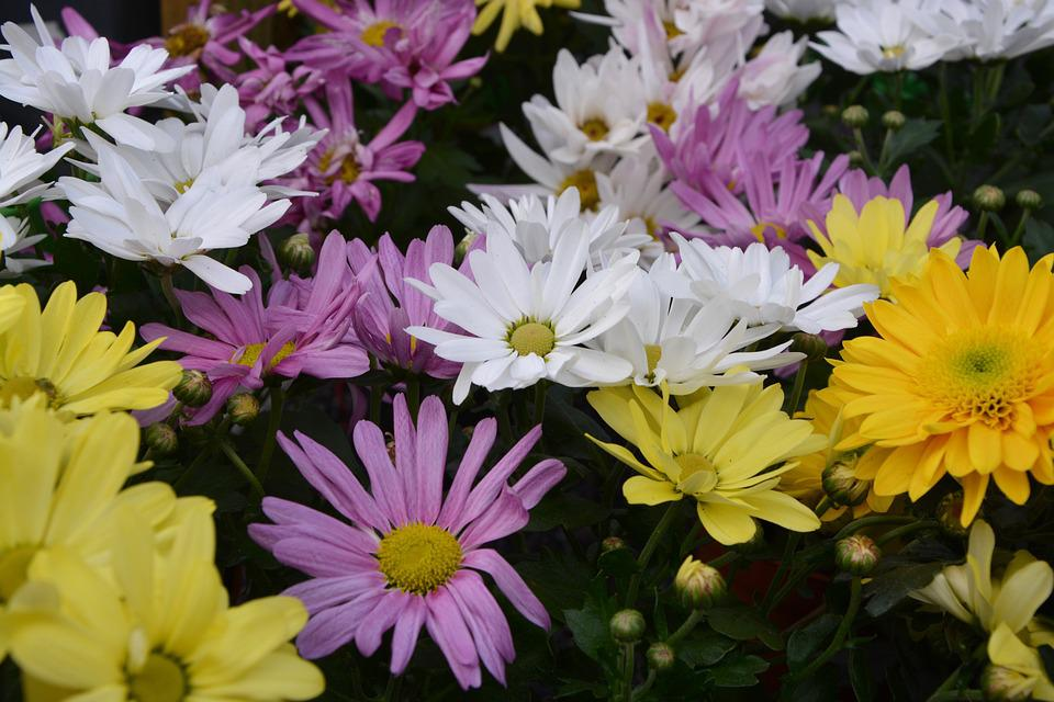 Mums flowers colors yellow white free photo on pixabay mums flowers colors yellow white purple mightylinksfo