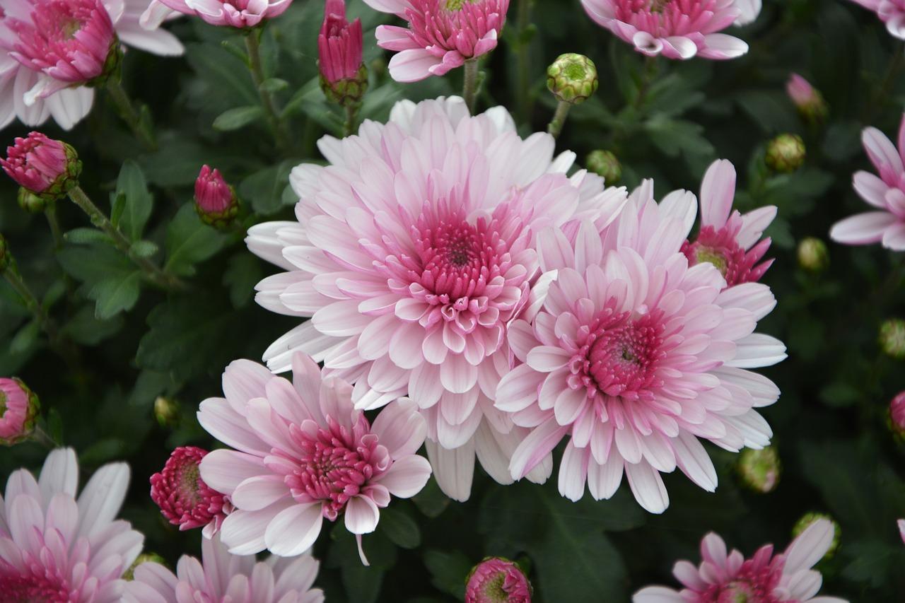 хризантемы бледно розовые с белым фото начинающая