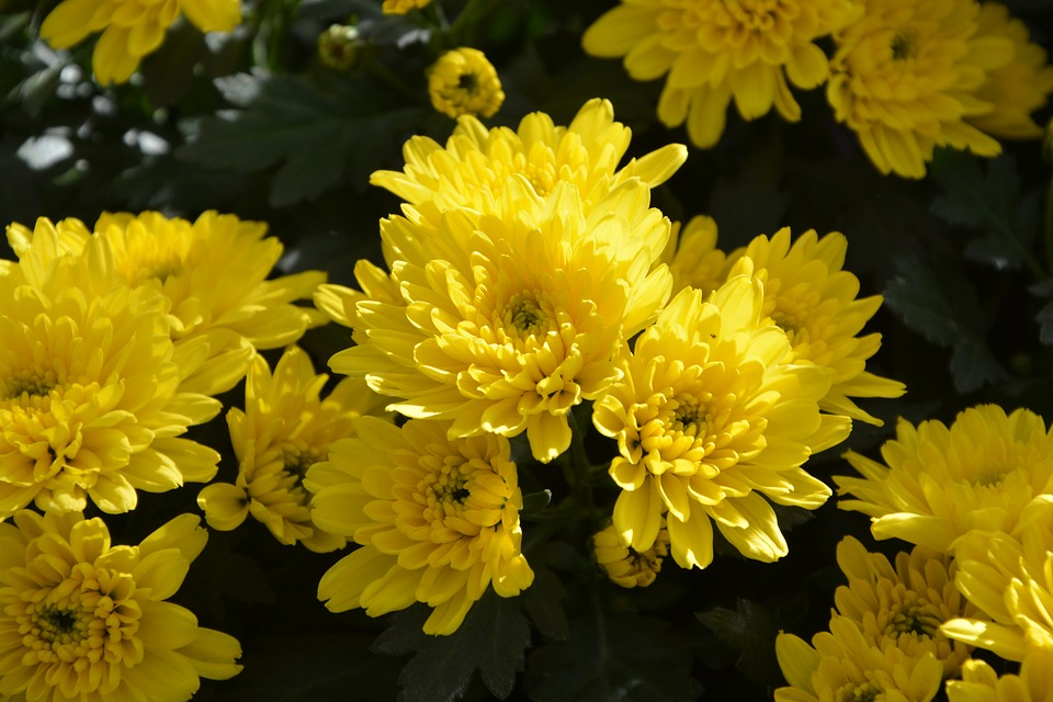 Mums flowers colors free photo on pixabay mums flowers colors yellow flowers flowers nature mightylinksfo
