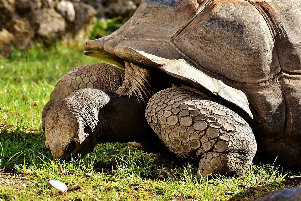 Giant tortoises animals panzer free photo on pixabay giant tortoises animals panzer zoo turtle tortoise publicscrutiny Choice Image
