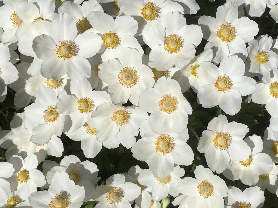 Weiße Blumen Garten Blüte · Kostenloses Foto auf Pixabay