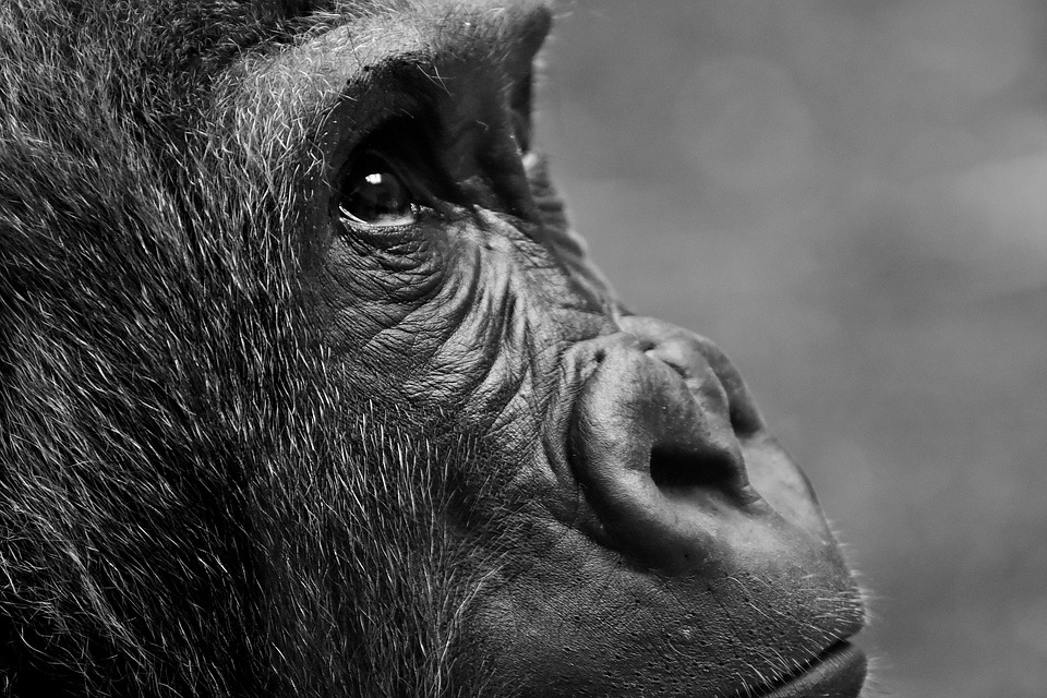 gorilla images pixabay download free pictures
