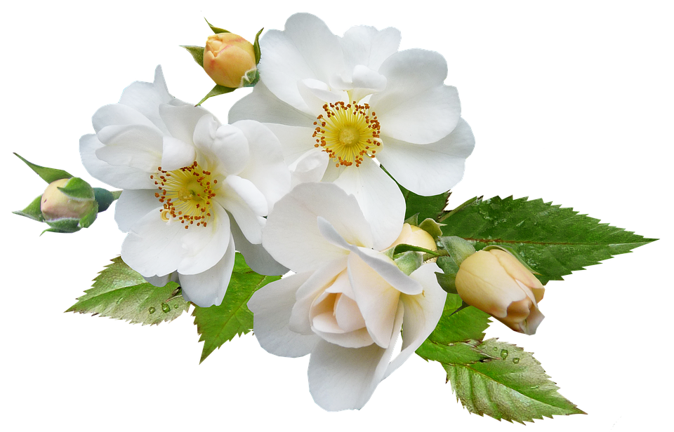 Rose white single free photo on pixabay rose white single flower plant mightylinksfo