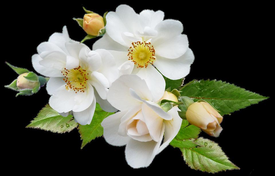 Rose White Single Free Photo On Pixabay