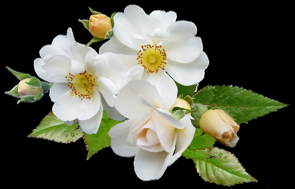 rose white single free photo on pixabay. Black Bedroom Furniture Sets. Home Design Ideas