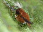 hummingbird, bird, feathered