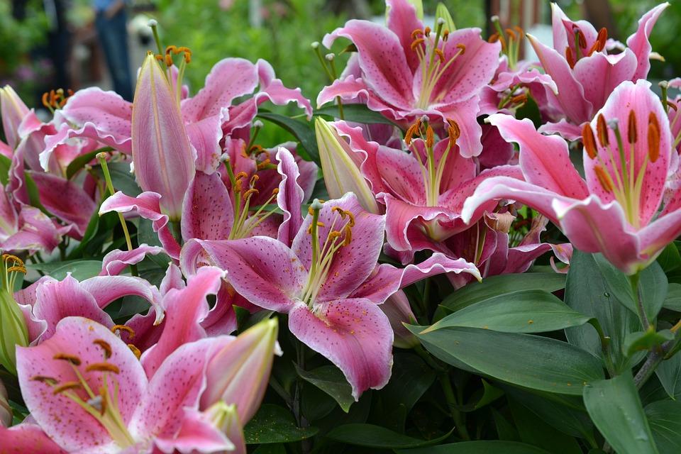 Rosa Lilie Lilien · Kostenloses Foto auf Pixabay