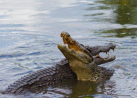 Rundreise durch Kuba Etappe 2 Playa Larga - Kuba-Krokodile