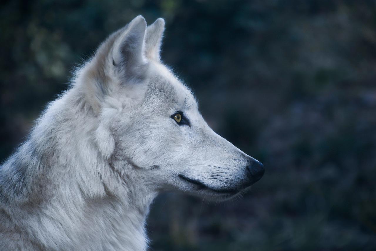 фото с головой волка измельченные овощи