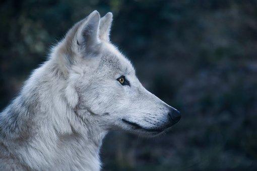 Wolf, Head, Profile, Predator