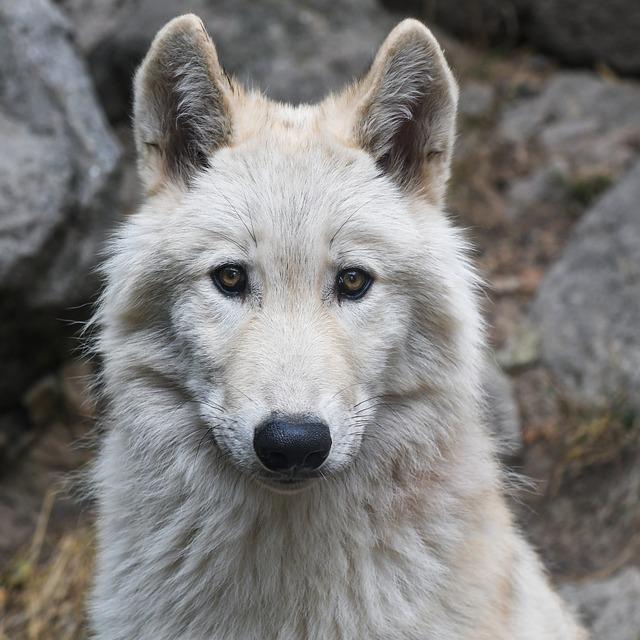 wolf portrait predator 183 free photo on pixabay