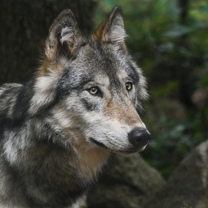 Wolf images pixabay download free pictures wolf portrait predator head fandeluxe Images