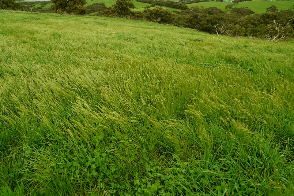 tall green grass field. Wind Swept Field Green Grass Tall Rural