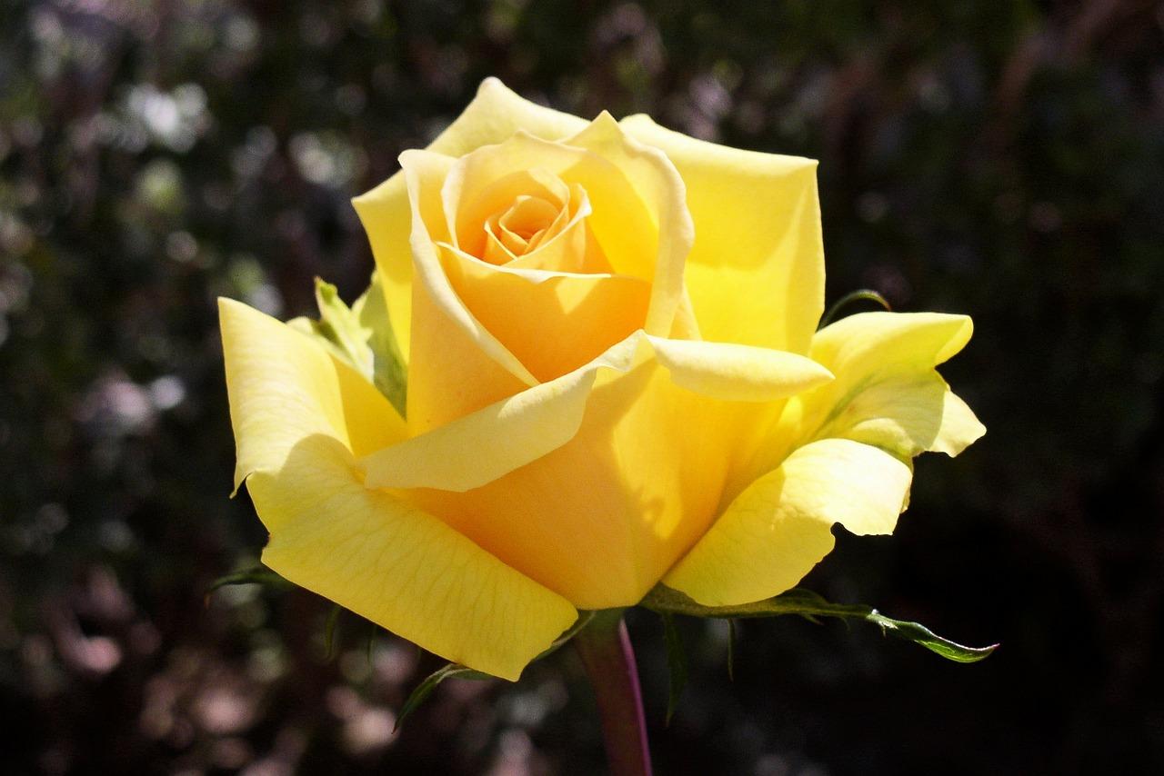 более желтые розы фотографии при помощи
