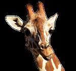 giraffe, cheeky