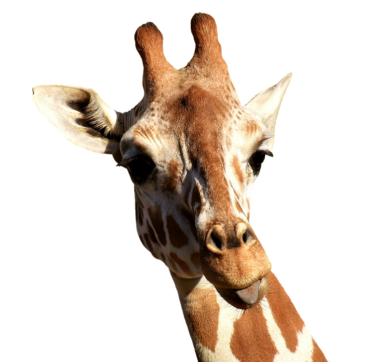 Giraffe Cheeky Stick Out Tongue · Free Photo On Pixabay