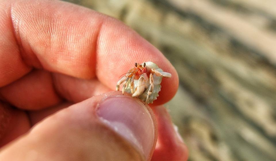hermit crab crustacean free photo on pixabay