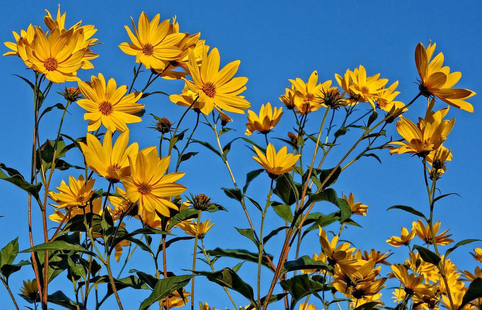 Flower yellow blue skies free photo on pixabay flower yellow flower blue skies summer sunshine mightylinksfo
