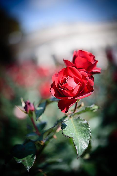 landscape photography flowers. flowers rose landscape photography a red f