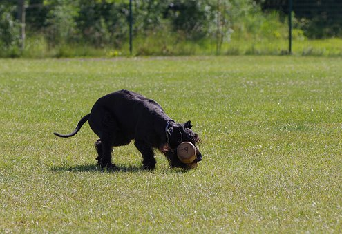 Giant Schnauzer, Competition