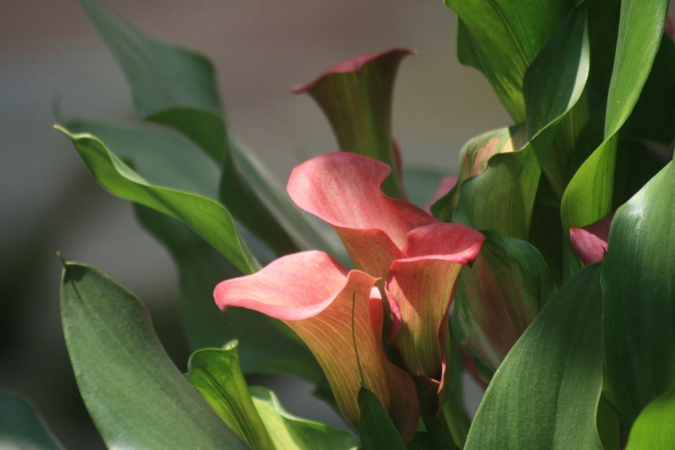 calla lily plant calla nature flower bloom lily