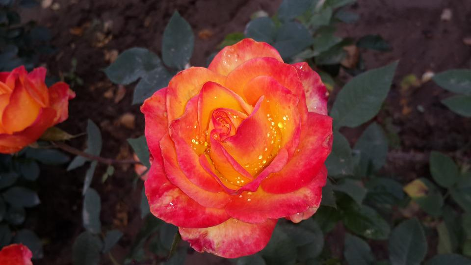 Rose Flower Beauty Of Nature Love