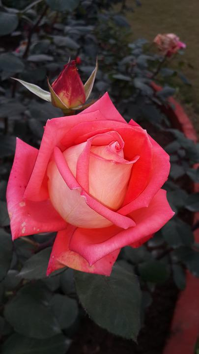 Pink Rose Beauty Of Nature Flower Love