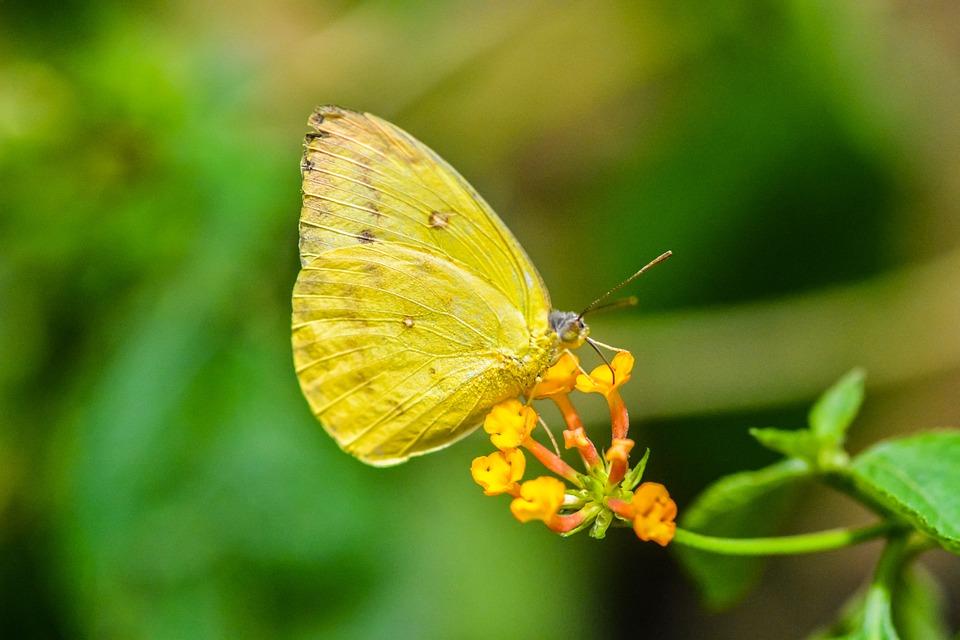 Farfalla Gialla Macro - Foto gratis su Pixabay