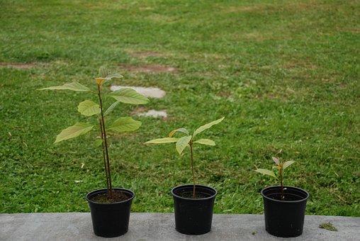 Avocados, Plant, Flowerpot, Avocado