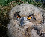 bird, owl, ninny