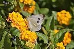 white, butterflies