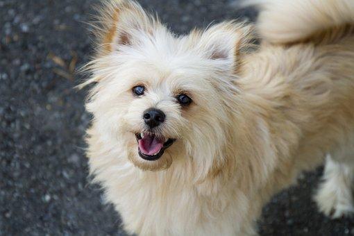 Pomapoo, Pomeranian, Poodle, Dog, Pet