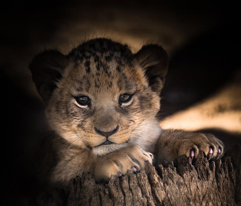 Lion Cub Cute Eyes 183 Free Photo On Pixabay