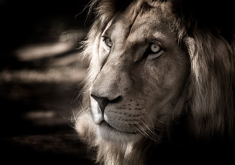 Image result for free black and white image of a lion