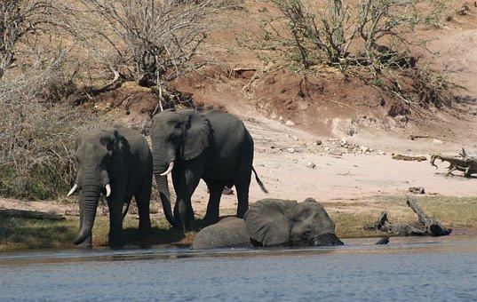 哺乳類, 動物, 象, ゾウ川を渡, アフリカ