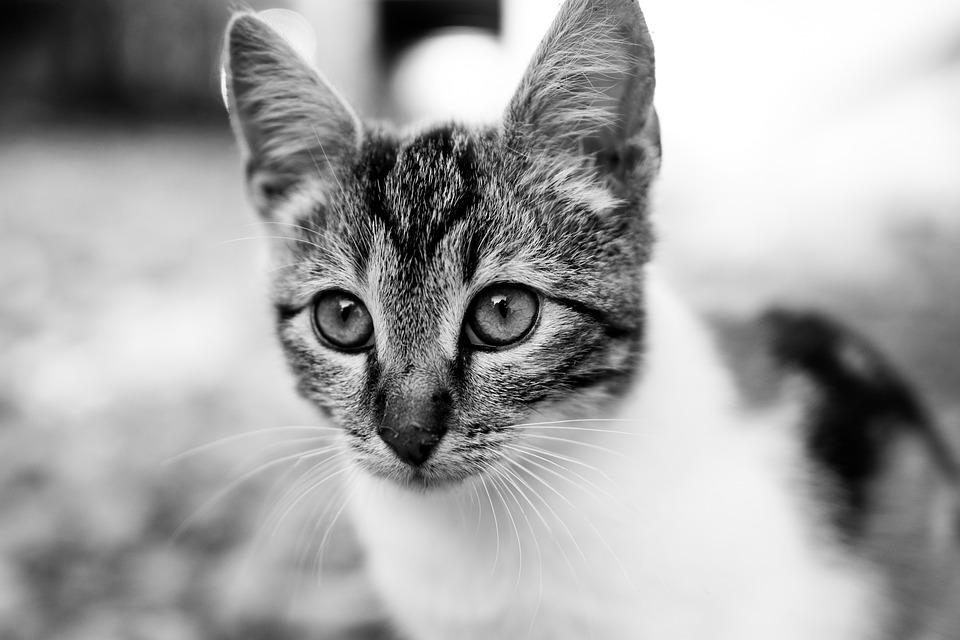Black And White Cat Fluffy Free Photo On Pixabay