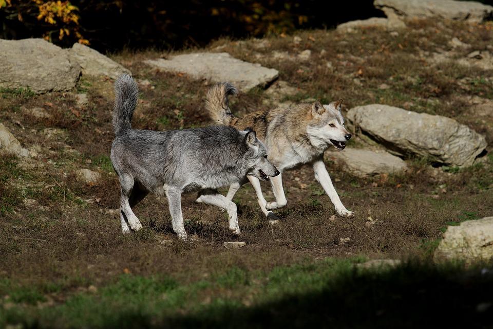 wolves timber canada free photo on pixabay