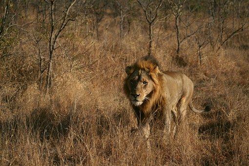 L we kostenlose bilder auf pixabay - Photos de lions gratuites ...