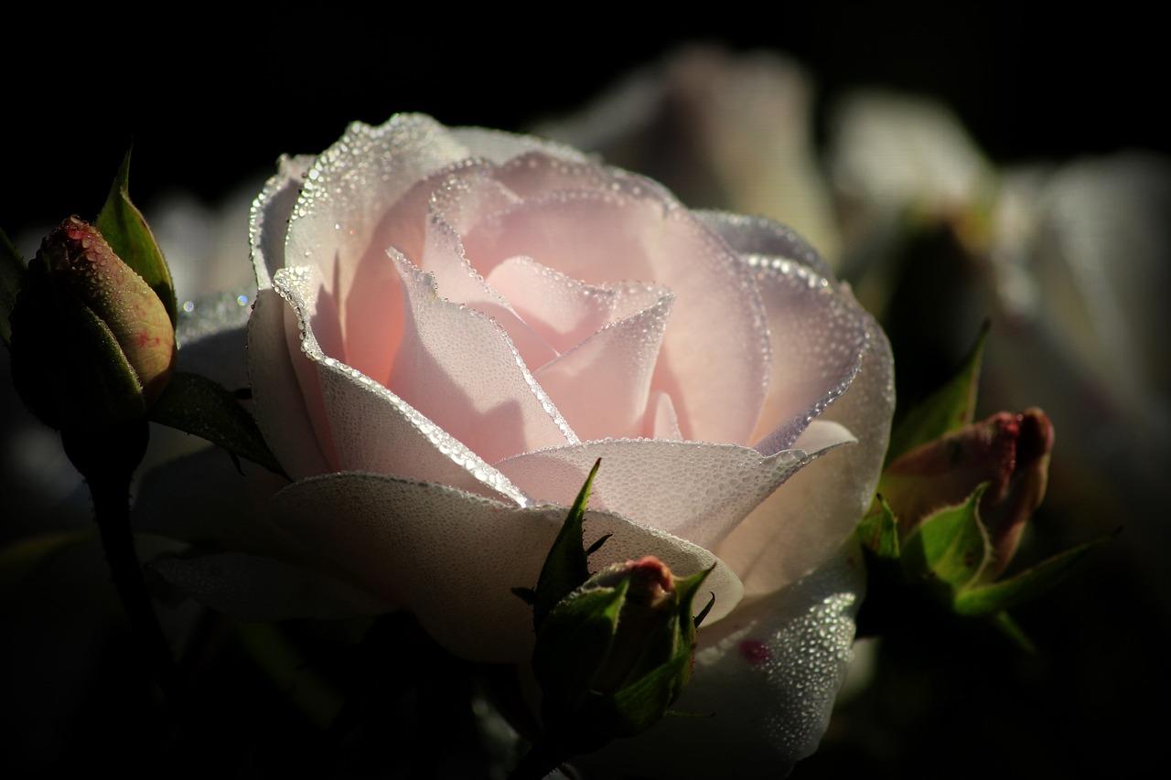 Pink, Blossom, Bloom, Rose, Dew, Pink Rose, Close Up