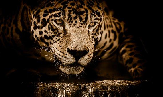 Jaguar, Wildcat, Carnivore, Stalking