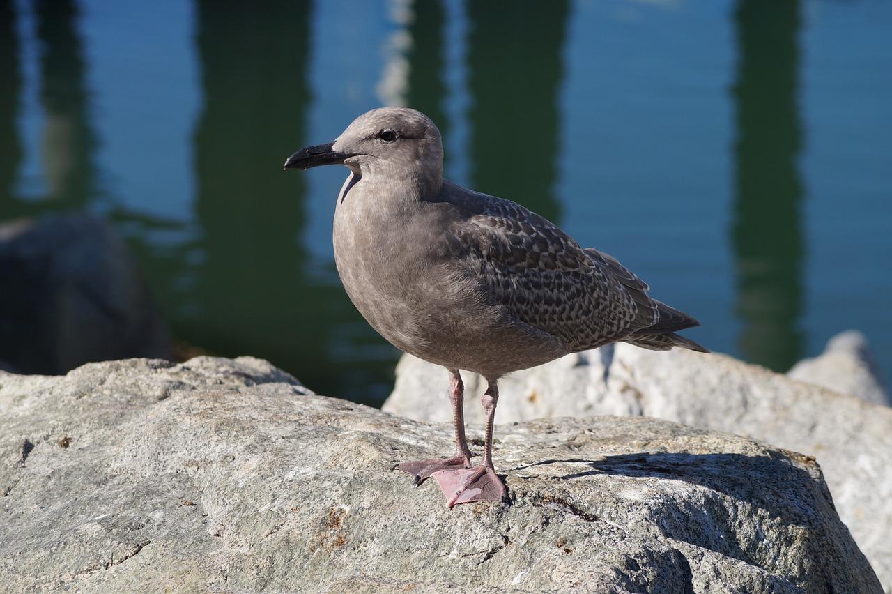 Водоплавающие птицы юга финляндии фото и названия