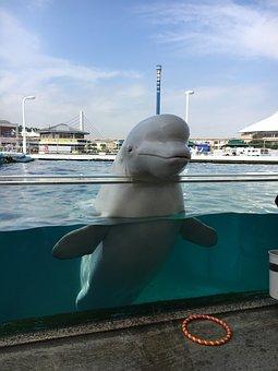 Beluga, Aquarium, Dolphin