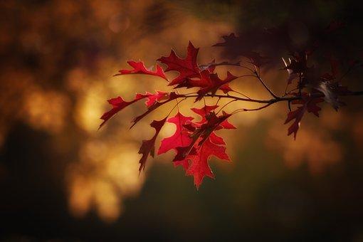 Autumn, Maple Leaves, Season, Nature